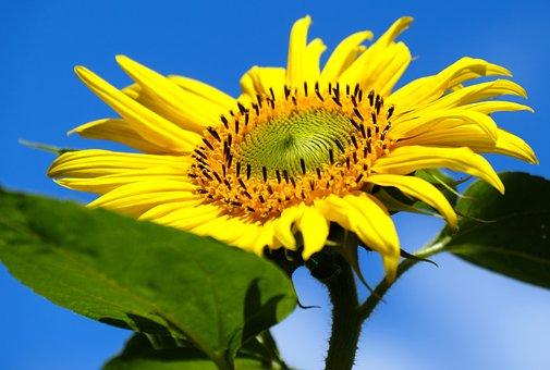 Sunflower, Yellow, Bright, Seeds, Plant, Flora, Summer