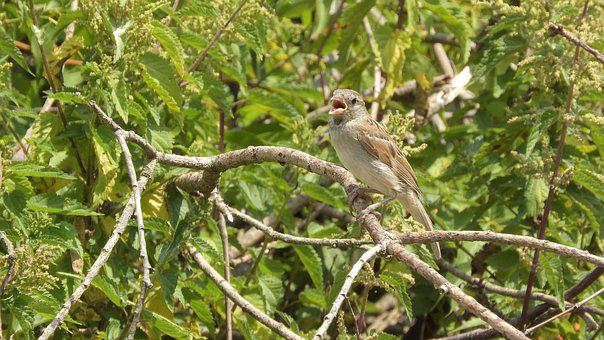 A Singing Bird, On A Branch, Singing, Bird, Birdsong