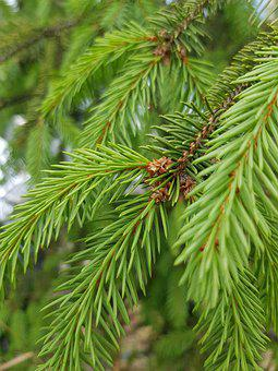 Spruce, Christmas Tree, Branch, Tree, Needles, Green