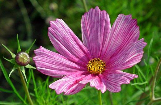 Kosmea, Flower, Pink, Summer, Garden, Nature, Blooming