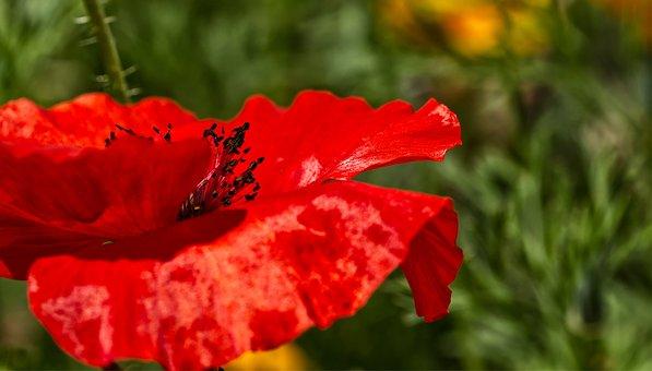 Poppy, Klatschmohn, Red, Nature, Poppy Flower, Summer