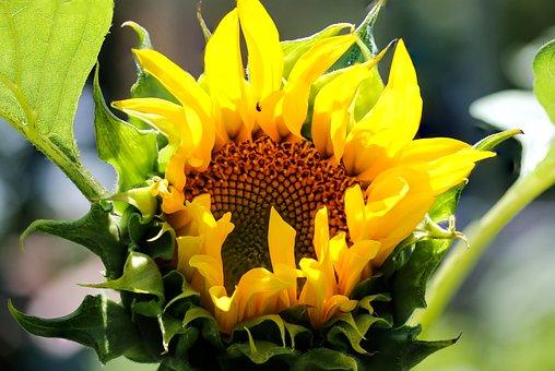 Nature, Flower, Sunflower, Garden, Seeds, Petals, Macro