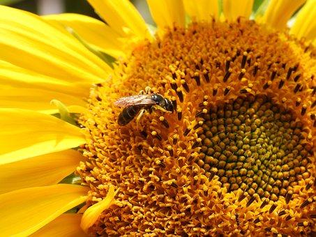 Bee, Sunflower, Flower, Pollen, Yellow, Summer, Flowers