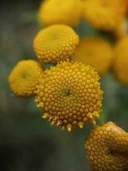 Tanacetum Vulgare, Tansy, Flower, Inflorescences, Flora