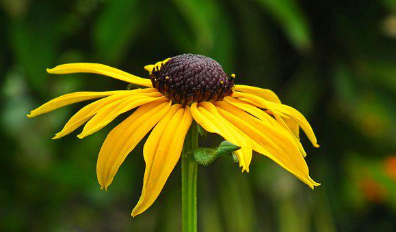 Rudbeckia Golden, Flower, Nature, Summer, The Petals