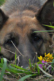 Dog, Training, Home, Shepherd, Nose, Animal, Mammal