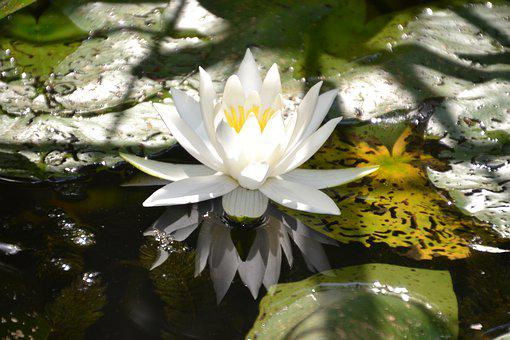 Water Lily, White, Water, Nature, Flower, Blossom