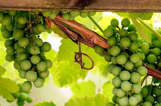 Wine, Grape, Entwine, Plant, Climber Plant, Grape Crop