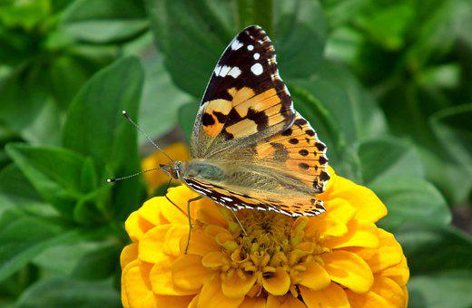 Butterfly, Insect, Zinnia, Flower, Yellow, Nature