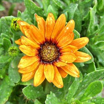 Yellow, African Daisy, Osteospermum, Single Flower