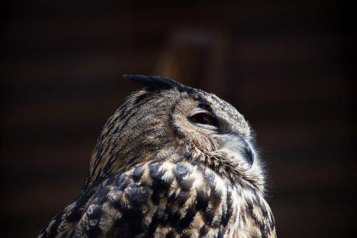 Eagle Owl, Bird, Animal, Animal World, Bird Of Prey