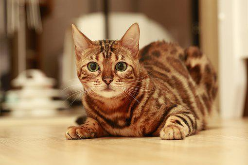 Cat, Bengal, Bengal Cat, Baby Cats, Animal, Cat Photo