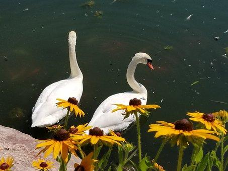 Swan, Swans, Flower, Nature, Beautiful, Birds, Pond