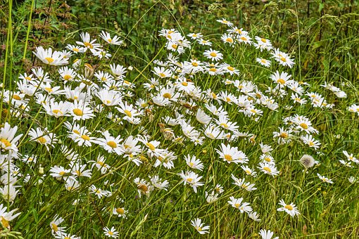 Flowers, Daisies, White, Blossom, Bloom, Plant, Summer