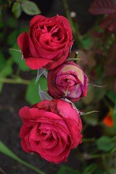 Red, Roses, Flower, Blossom, Nature, Fragrance, Bloom