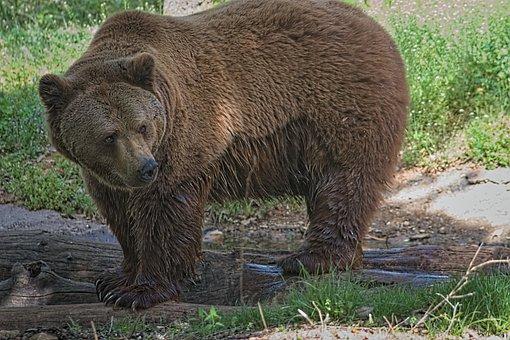 Bear, Animal, Nature, Brown Bear, Dangerous, Predator