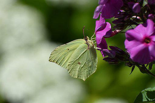 Butterfly, The Limonite, Yellow, Phlox, Nutrition