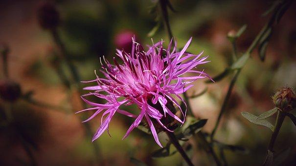 Cornflower, Purple Flower, Nectar, Nature