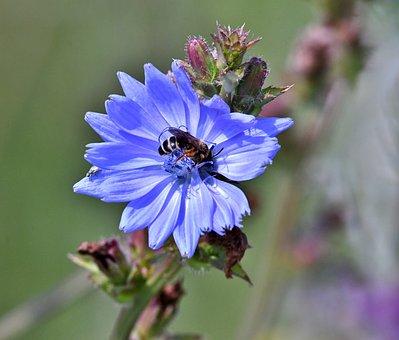Flower, Chicory, Wild, Blue, Field, Bee, Flora, Petals