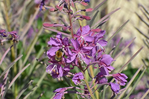 Fireweed, Flowers, Bloom, Bumblebee, Nutrition, Nectar