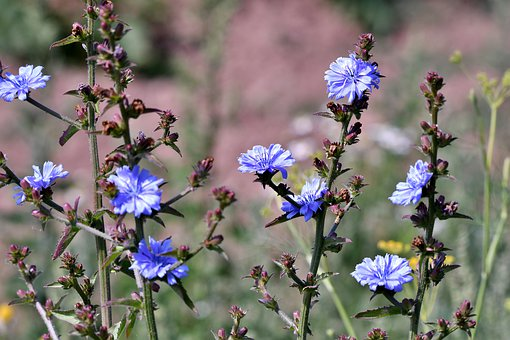 Flowers, Chicory, Blue, Flora, Summer, Field, Nature