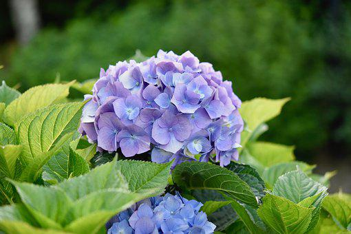 Flower, Hydrangea, Flower Color Blue, Green Leaves