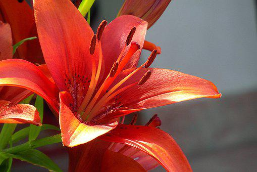 Asian Lily, Red, Flower, Garden, Inflorescence