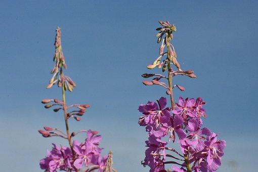 Fireweed, Flowers, Bloom, Summer, Sky, Nature, Purple