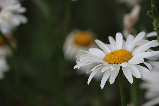 Daisy, White, Flowers, Spring, Bloom, Nature, Daisies