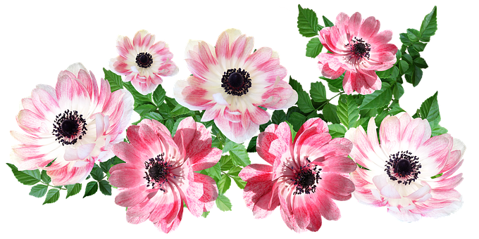Flowers, Anemone, Arrangement, Cut Out, Isolated