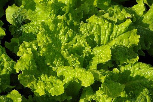 Lettuce, Green, Food, Foliage, Fresh, Garden, Dew Drops