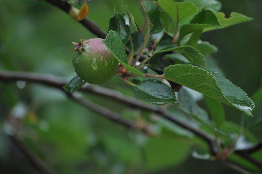 Apple, Fruit, Food, Branch, Natural, Agriculture, Juicy