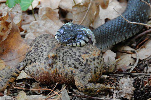 Snake, Forest, Gad, Grass Snake, Hunting, A Toad