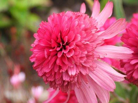 Starfish, Flower, Plant, Garden, A Perennial Plant