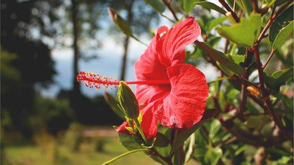 Hibiscus, Red Flower, Plant, Nature, Park, Gran Canaria