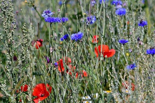 Cornflowers, Poppies, Grasses, Field Flowers, Nature