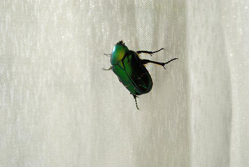 Beetle, Insects, Animals, Green