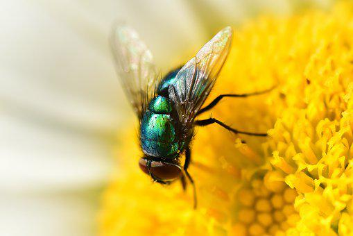 Green Bottle Fly, Insect, Animal, Wing, Thorax