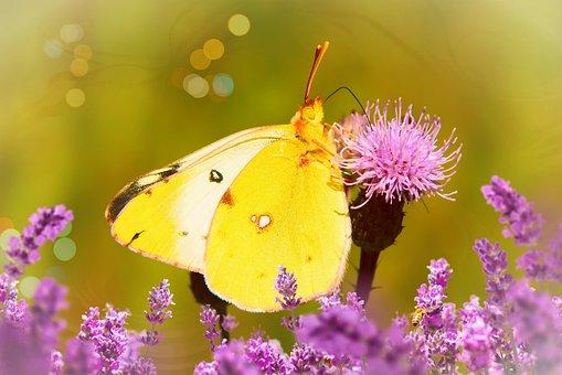 Szlaczkoń Siarecznik, Butterfly Day, Insect, Antennae