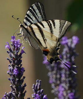 Butterfly, Pollination, Nature, Flowers, Lavender, July