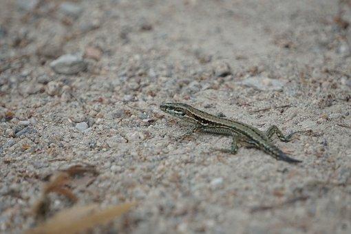 Lizard, Animals, Nature, Reptile