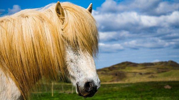 Iceland, Horse, Land, Landscape, Pony, Animal, Nature