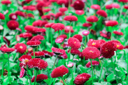 Daisy, Red, Pink, Blossom, Flowers, Leaf, Nature, Plant