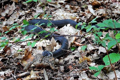 Snake, Grass Snake, Gad, Nature, Wild