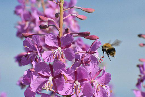 Bumblebee, Fly, Fireweed, Feed, Nutrition, Insect