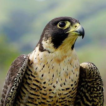 Falcon, Bird, Raptor, Wildlife, Peregrine, Eyes