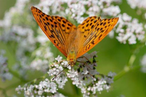 Butterfly, Perleťovec Stříbropásek, Macro, Orange