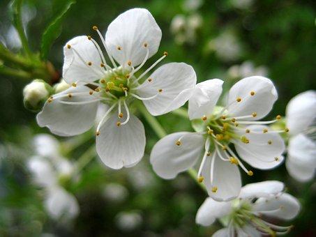 Cherry, Flower, White, Macro, Stamens, Petal