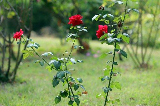 Rose, Garden, Summer Rose, Plants, Petal, Red