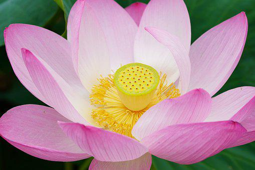 Lotus, Pond, Flowers, Nature, Water Lilies, Plants